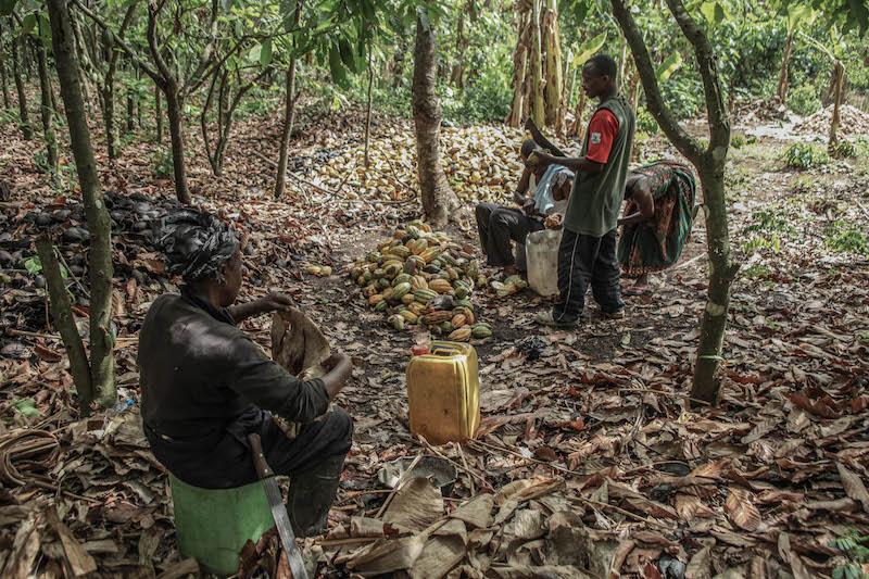 La ferme de cacaoyer se trouve dans le district de Kone. Au Ghana, les exploitations de cacaoyers sont principalement situées dans la région d'Ashanti