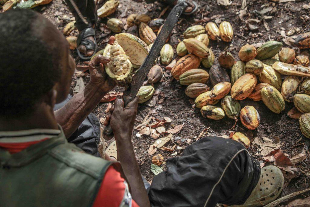 1. Un agriculteur ouvre les cabosses pour récupérer les fèves.